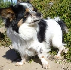 Cupid: Japanese Chin, Dog; Newhall, CA