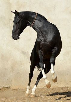 The Akhal-Teke is a horse from Turkmen, in the southern region of the modern country of Turkmenistan. Most Beautiful Horses, Pretty Horses, Horse Love, Animals Beautiful, Akhal Teke Horses, Friesian, Horses And Dogs, Wild Horses, Horse Photos