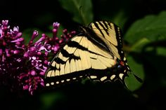 https://flic.kr/p/tMpief | Butterfly and Lilac | The swallowtail butterfly's are back