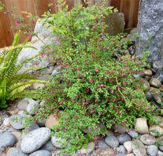 San Francisco Landscaping Plants Directory Montezuma, Plant Pictures, Landscaping Plants, Cool Plants, Native Plants, San Francisco, Backyard, Landscape, Archive