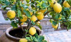 Pé de limão em vaso de jardim