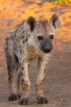 Spotted Hyena Cub by Johann Visser on 500px