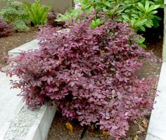 Loropetalum chinensis 'Rubrum'