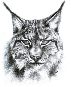 PictureTip.com / Gallery: Lynx face drawing