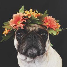 Pugs are just too cute!
