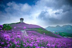 champ de fleurs violettes dans le nord de Guizhou en chine