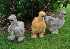 Fortuna, Still thinking about keeping chickens? Check out these crazy critters: Silkie Chickens, we have a black (puff) and a white (fluff). These are such friendly chickens! So much fun to have! Bantam Chickens, Chickens And Roosters, Fancy Chickens, Farm Animals, Funny Animals, Cute Animals, Beautiful Birds, Animals Beautiful, Cutest Animals