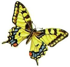 Image result for yellow butterfly species