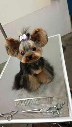 Comprehensive guide to the perfect Yorkie Haircuts for males and females. Get inspired from 100 + pictures of different short and long Yorkshire terrier hairstyles. Also see what are the most popular cuts for your pup. Cute Puppies, Cute Dogs, Dogs And Puppies, Yorkies, Cute Baby Animals, Animals And Pets, Chien Yorkshire Terrier, Yorkie Hairstyles, Sweet Dogs