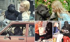 Never-before-seen pictures and footage of gorilla Koko and her trainer Penny Patterson who met in San Francisco in 1971 are set to form part of a new BBC documentary.