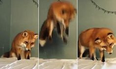 Fox nosedives on a white bed sheet after confusing it for snow #DailyMail | These are some of the stories. See the rest @ http://twodaysnewstand.weebly.com/mail-onlinecom or Video's @ http://www.dailymail.co.uk/video/index.html