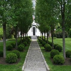 Linear flowering pear tress (Chanticleer) and boxwood. I prefer a hedge to the rounded boxwoods.