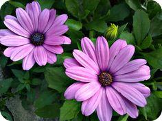 Purple Daisy will be my flowers