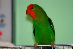 Inseparable Carirrojo (Agapornis pullarius) --> Entre 13 y 15 cm de longitud y un peso entre 29 y 50 gramos. Tiene la frente, la parte delantera de la corona y los lores de color rojo anaranjado brillante; la parte trasera de la corona, nuca, manto y escapularios de color verde brillante; grupa azul claro brillante; coberteras supracaudales son de color verde brillante y las infracaudales son de un color verde amarillento. Por arriba, las coberteras alares son de color verdes brillante y da…