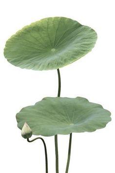 Lotus Bud, Lotus Leaves, Lotus Flower, Plant Leaves, Rock Flowers, Flowers Nature, Tropical Flowers, Beautiful Flowers, Leaves Name