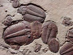 eclecticirony:Not only are these Elrathia kingii trilobites not rare, they are likely the most common trilobites on planet earth. They come from the Wheeler Shale Formation in Utah. What is uncommon is the red color that only comes (I'm told) from the so-called red rock layer. But, the rarest thing is that I found this fossil. Elarathia is a member of Trilobites Order Ptychopariida, Family Ptychopariidae. The Wheeler Formation fossils are some 507 million years old.