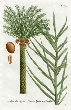 Date Palm (Phoenix dactylifera): Johann Weinmann Botanical Print, 1737 Botanical Drawings, Botanical Prints, Natural Curiosities, Plant Illustration, Fruit Art, Art Clipart, Tropical, Flower Images, Picture Collection