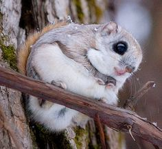 Pictures here is a Siberian Flying Squirrel. A distinctive feature of flying squirrels is the furry patagium, a flap of skin that stretches between the front and rear legs. By spreading this membrane the flying squirrel may glide from tree to tree. Baby Animals, Funny Animals, Cute Animals, Wild Animals, Japanese Dwarf Flying Squirrel, Photo Animaliere, Cute Squirrel, Squirrels, Baby Squirrel
