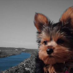 Teacup Yorkshire Terrier Love! Love my little dog Marley in Austin TX! #yorkshireterrier