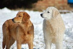 Golden Retriever and Kuvasz Puppy by Foxhaven Kennels, via Flickr