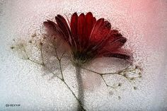 PEONY — Mesmerising photos of Flozen flowers by Mo Devlin Workshop, Autumn Theme, Trees To Plant, As You Like, Canvas Art Prints, Flower Power, Mists, Art Photography, Bubbles