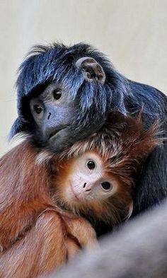 Baby monkeys..(Javan Lutungs) | Flickr - Photo by Truus & Zoo