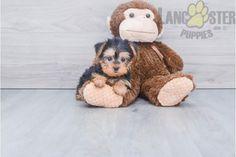 #YorkshireTerrier #Charming #PinterestPuppies #PuppiesOfPinterest #Puppy #Puppies #Pups #Pup #Funloving #Sweet #PuppyLove #Cute #Cuddly #Adorable #ForTheLoveOfADog #MansBestFriend #Animals #Dog #Pet #Pets #ChildrenFriendly #PuppyandChildren #ChildandPuppy #LancasterPuppies www.LancasterPuppies.com Lancaster Puppies, Yorkshire Terrier Puppies, Puppies For Sale, Mans Best Friend, Puppy Love, Teddy Bear, Pets, Children, Animals