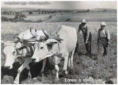 Σάπες 11 Αυγούστου 1955: Μια από τις πιο χαρακτηριστικές φωτογραφίες της συλλογής μου. Βρισκόμαστε στα 1955. Ακόμη το όργωμα των χωραφιών γίνεται με τα ζώα και τα άροτρα. Ένα ζευγάρι από βόδια σέρνουν το άροτρο, το οποίο κρατάει ο γεωργός και ταυτόχρονα το πιέζει βαθειά στη σκληρή και στεγνή γη (βλέπετε είναι ακόμη Αυγουστος). Ο άνθρωπος διπλά, κρατάει ένα μακρύ ξύλο για να κεντρίζει τα ζώα και να τα καθοδηγεί προς τα εκεί που επιθυμούν.Με αυτόν τον τρόπο γινόταν το όργωμα. Cow, Animals, Animales, Animaux, Animal Memes, Animal, Animais, Dieren