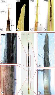 Sugarcane smut is a fungal disease caused by Sporisorium scitamineum which is responsible for losses in sugarcane production worldwide. Infected plants show a profound metabolic modification resulting in the development of a whip-shaped sorus composed of a mixture of plant tissues and fungal hyphae.  Stages of soral development in the RB925345 sugarcane cultivar. (A) At 120 days after inoculation (DAI) the first recognizable stage consists of a filiform apical structure. (B) Detail (red…