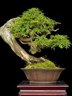 Bonsai (Thuja, perhaps?)
