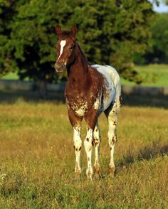 "Appaloosa Horses for Sale | TheseIrons R Spotted, Appaloosa Stallion in Texas - ""Ben"""