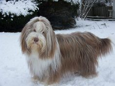 Bearded collie photo | Bearded Collie Information and wallpapers, New Dog Funny Pet Pictures ...
