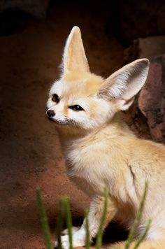Wild animals on pinterest 74 pins - Pagina da colorare fennec fox ...