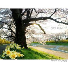 桜と水仙の春の散歩道  大好きなお散歩コースの春は優しいピンクと鮮やかな黄色で彩られて歩いていてとても心穏やかになりました  この白石川の横には電車も走っていてゴトンゴトンの音もとっても心地よいです  #宮城#柴田町 #船岡城址公園 #白石川#一目千本桜 #春#桜#花見#水仙 #夕日#夕日アルバム  #sunset #201604a #river#park #cherryblossoms  #landscape #scenery by ami_7651