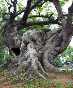 Trees And Shrubs, Trees To Plant, Weird Trees, Giant Tree, Unique Trees, Tree Art, Science And Nature, Nature Pictures, Amazing Nature