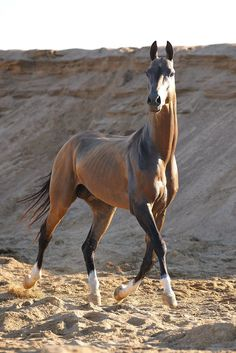 "Akhal Teke--what a beauty--that long slender ""Greyhound"" body is like no other breed--famous for the metallic sheen on their coats and their long-distance speed and endurance ability."