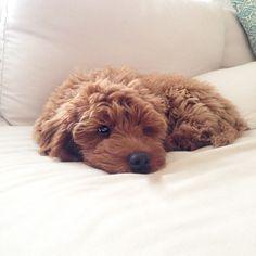 Hockley - mini red Australian Labradoodle puppy