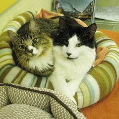 Thinking of cat adoption? Check out these two feline best friends, Farrah & Ryan, who are waiting to be adopted together