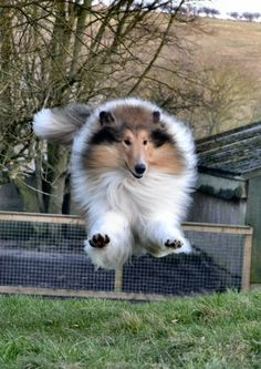 All Breeds Of Dogs, Best Dog Breeds, Best Dogs, Rough Collie, Collie Dog, I Love Dogs, Cute Dogs, Shetland Sheepdog Puppies, The Perfect Dog