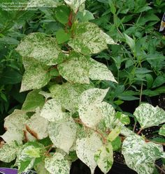 Full size picture of Variegated Japanese Knotweed, Speckled Mexican Bamboo 'Variegata' (Fallopia japonica)