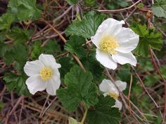 "Hiking & Gardening in One! This beauty is the Rocky Mountain Raspberry. Isn't it lovely? This photo is from the wild, but I was fortunate to plant one in my yard. The flowers are about 2-3"" across. It's a mid-size bush with no spines at all, compact, and seems to like shade during hot afternoon sun. I often see it growing in dappled sun. It is drought tolerant. #Diana #Sproul #Transform #Health #raspberry #bush #Rocky #Mountain #gardening"