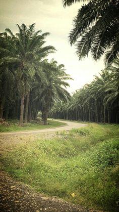 Palm Oil Plantations, Guadalcanal, Solomon Islands