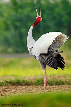 Moments and Memories A~~~Sarus Crane (Antigone antigone) . Photo by Anand Arya The tallest of the flying birds, standing at a height of up to m ft). Exotic Birds, Colorful Birds, Pretty Birds, Beautiful Birds, Nature Animals, Animals And Pets, Crane Bird, Big Bird, Bird Pictures