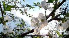 Cherry blossom (somwhere in Croatia) - In Croatia have been cultivated cherries with white blossom with fruits ripening in June