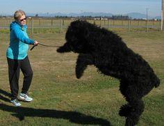 black russian terrier - Google Search