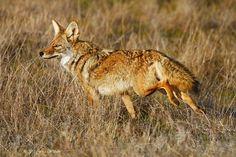 Coyote | Texas Coyote