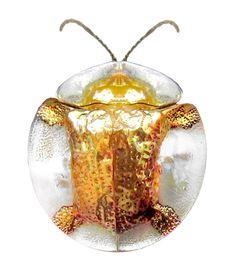 Leaf Beetle, Beetle Insect, Beetle Bug, Insect Art, Cool Insects, Bugs And Insects, Cool Bugs, A Bug's Life, Beautiful Bugs