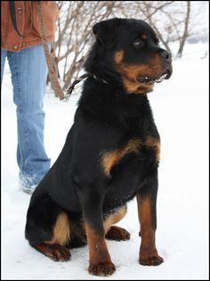 Rottweiler Puppies - Carlos von der Tonberger Hohe, Sammy vom Kummelsee - von Adlerhaus Rottweilers C Litter