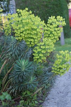 Wolfsmelk (Euphorbia Characias wulfenii) | sun. Front by house-- replace pink.