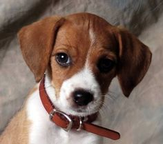 I want him!! Beagle and jack Russell mix.